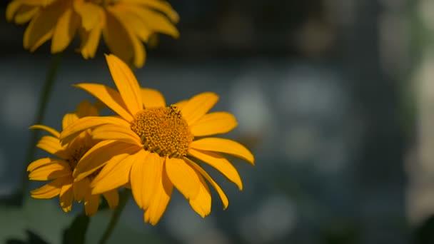 květiny žluté na zelenou krajinu zpomalené video pozadí přírody