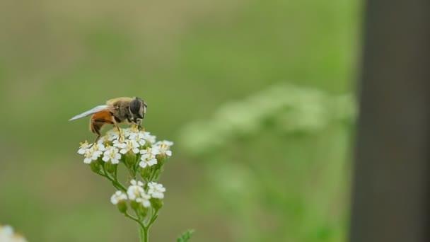 Gadfly včela sedí na květ na zeleném pozadí přírody makro slow motion videa