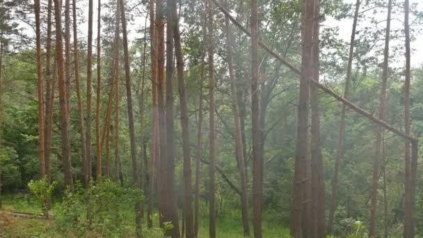 slunečný den mezi borovice kouře zpomalené video