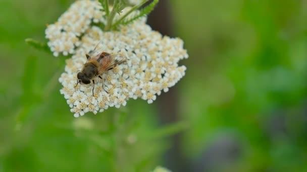Gadfly včela sedí na květinu na zeleném pozadí přírody makro slow motion videa
