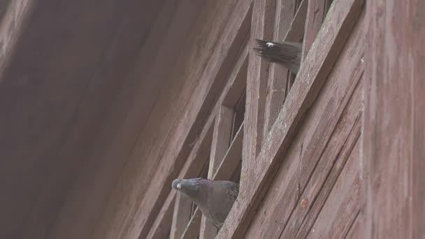 holubice pozor ze střechy zpomalené video