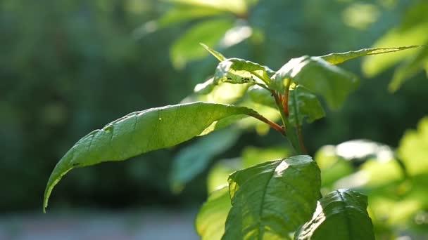 Les zelené listy slunečního záření na zeleném pozadí přírody slow motion videa