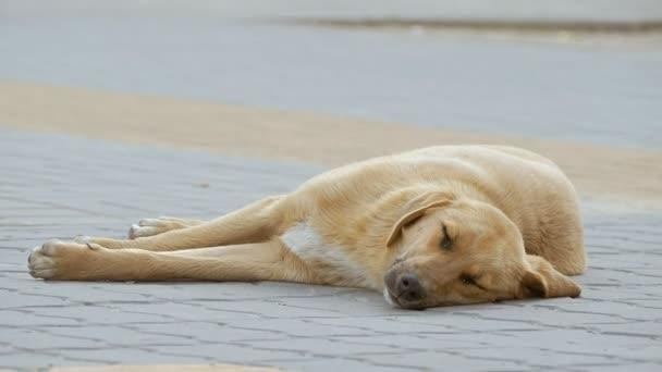 Toulavý pes ležící a spící zpomalené video
