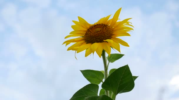 video oblasti krásné žluté slunečnice černá čepice