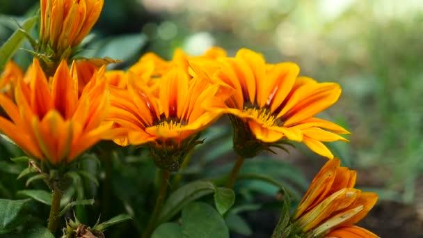 žlutá oranžová květina krásné video přírodní pozadí