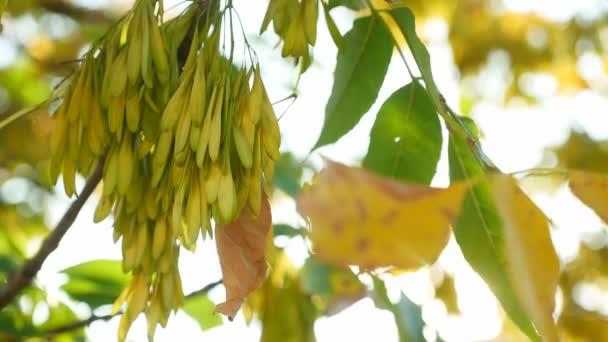 Juhar fa sárga levelek ősszel gyönyörű napfény videóinak