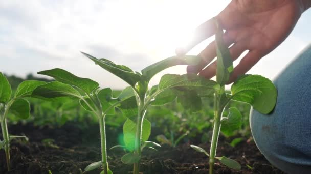 environmental agriculture protection. farmer hand touches pouring sunflower plants low on black soil. farmer hand checks the crop in agriculture. planet protect eco concept