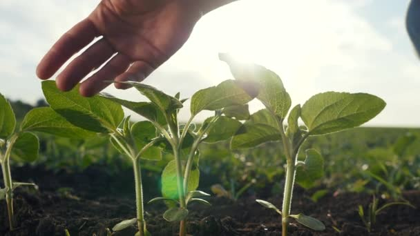 agriculture environmental protection. farmer hand touches pouring sunflower plants low on black soil. farmer hand checks the crop in agriculture eco. planet protect concept