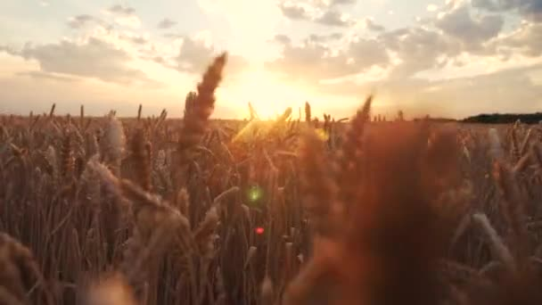 ears of wheat on the field a during sunset. wheat agriculture harvesting agribusiness concept. walk in large wheat field. large harvest of wheat in summer on lifestyle the field landscape