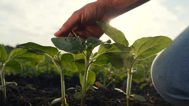 environmental agriculture protection. farmer hand touches pouring sunflower plants low on eco black soil. farmer hand checks the crop in agriculture. planet protect concept