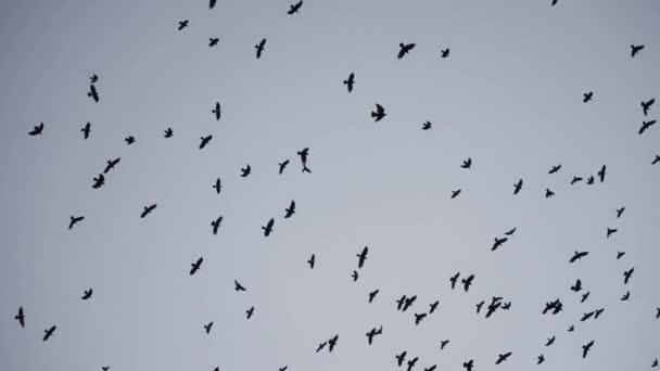 madárcsorda repül az égen varjak. a halál káosza koncepció. Egy csapat madár repül az égen. Fekete varjak egy csoportban, akik az ég felé köröznek. a madarak migrációs mozgása a szálló meleg országokból
