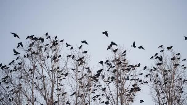 hejno ptáků létajících po obloze vrány. Chaos překvapení konceptu smrti. skupina ptáků vylekaných na obloze. černé vrány ve skupině kroužící proti létající obloze. migrace ptáků