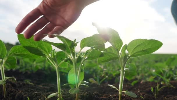 agriculture environmental protection. farmer hand touches pouring sunflower plants low on black soil. farmer hand checks the crop in eco agriculture. planet protect concept