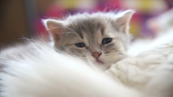 tvář velké šedé kotě ležící spící na jiné bílé kotě