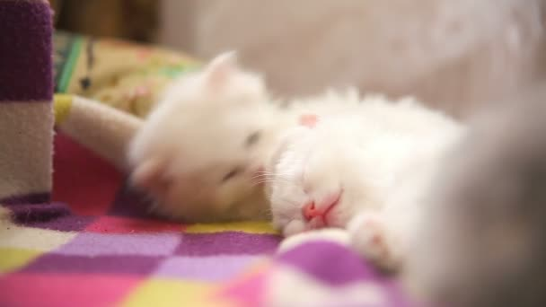 two white kitten playing sleeps bite each other one