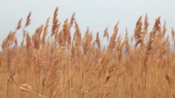 stébla trávy krajina marsh suchý podzim pozadí přírody