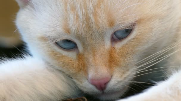 gatto bianco notte occhi azzurri muso dellanimale domestico