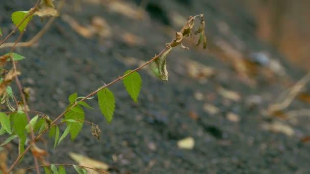 pobočka elm listy proti černé země