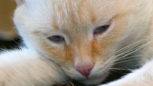 white cat sleeping  blue eyes pet muzzle