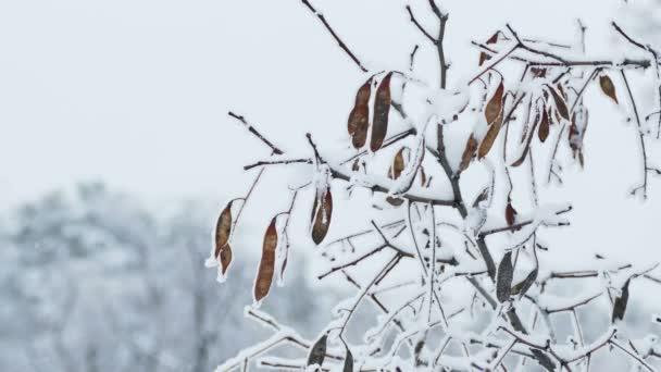 zmrazené javorový strom větev zimní příroda