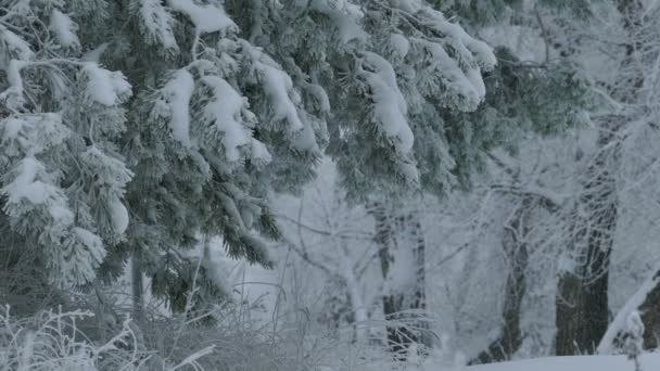 fir trees branch in snow wild forest Christmas winter snowing