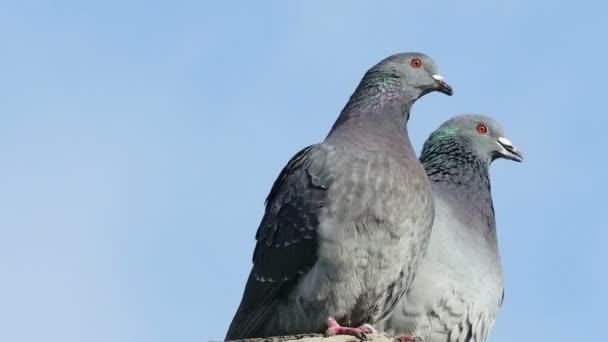dove dva šedé holubi líbání na pozadí modré oblohy