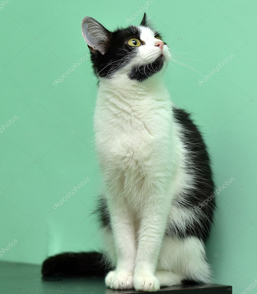 Black and white cat — Stock Photo © evdoha #83484764