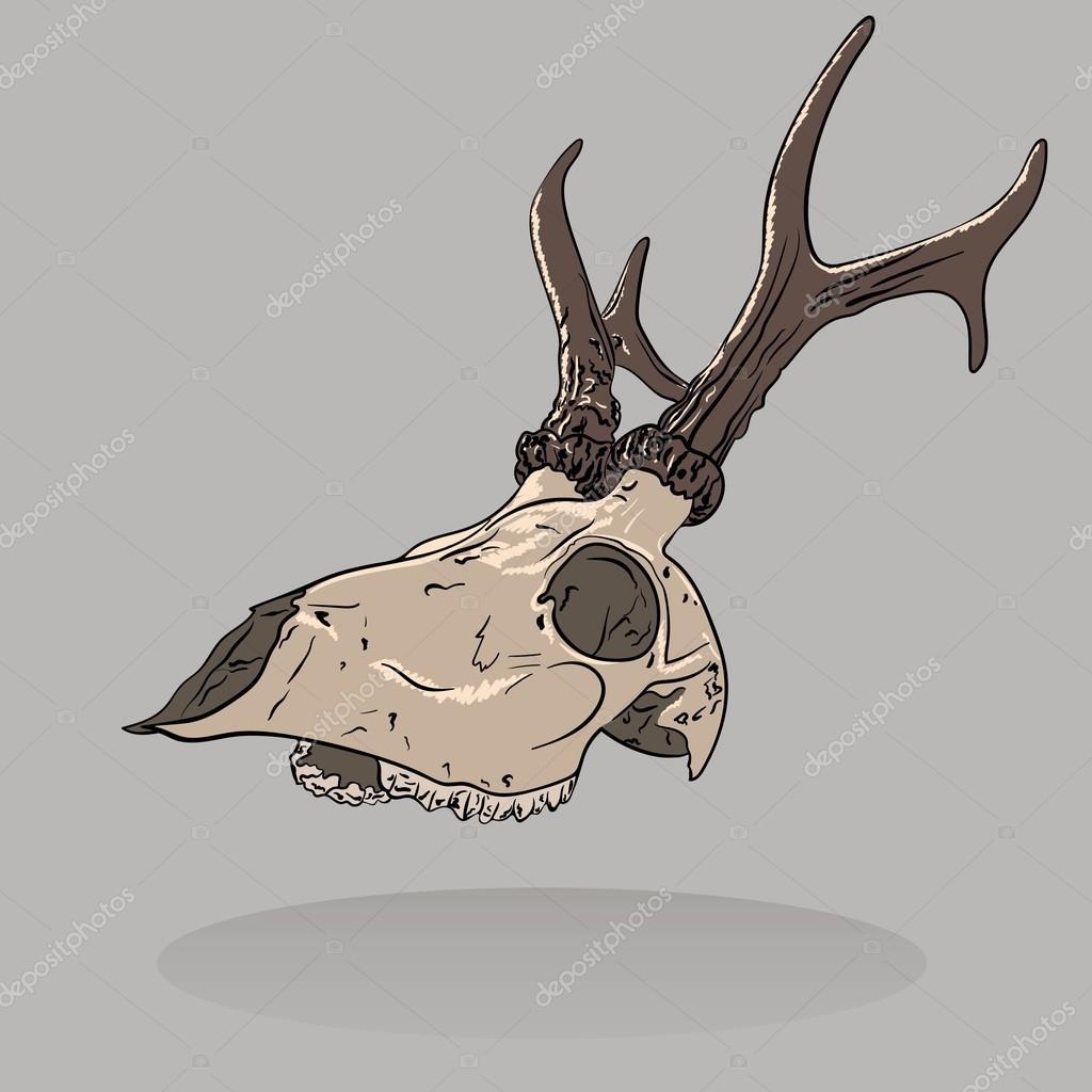 Ilustración de vector de un cráneo de ciervo aislado. Vista de ...
