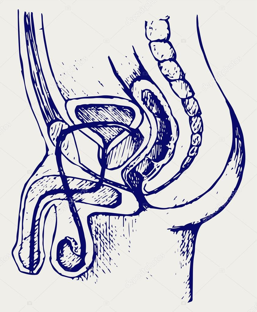 sistema urinario masculino — Vector de stock © Kreativ #65984717