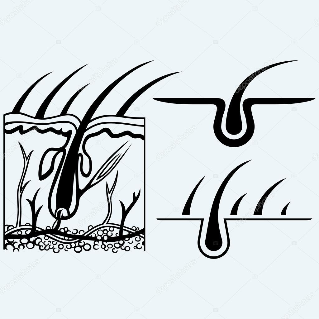 Anatomía del pelo y folículo piloso — Vector de stock © Kreativ ...