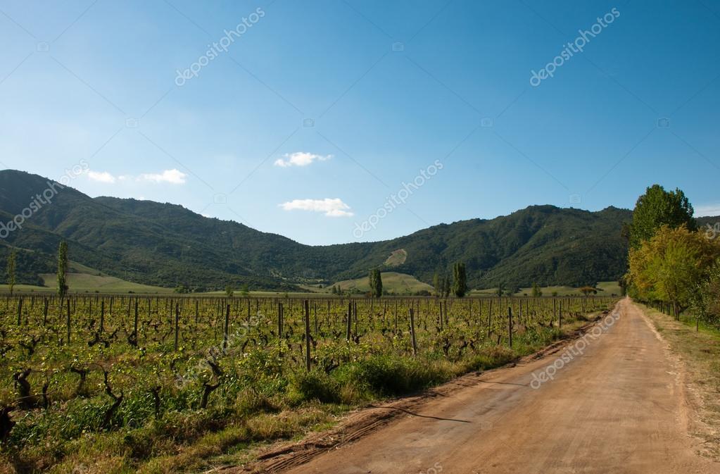 chile - carmenere wineyard in santa cruz