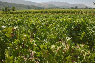 carmenere wineyard in apalta valley - chile