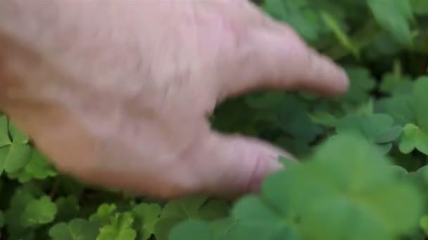 Muž, hledá prostřednictvím Clover rostlina