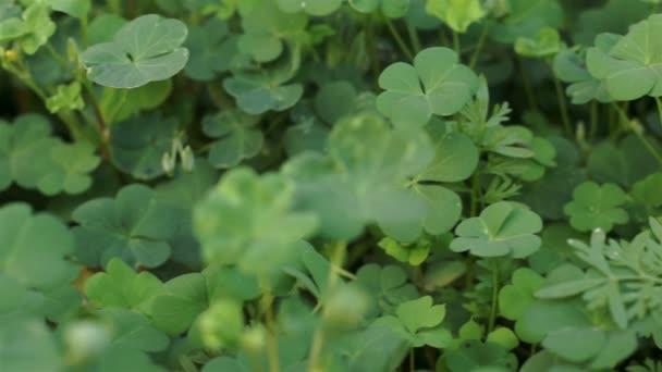 Clover rostlina blízko se Dolly