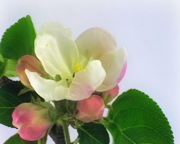 Apple květiny Pal