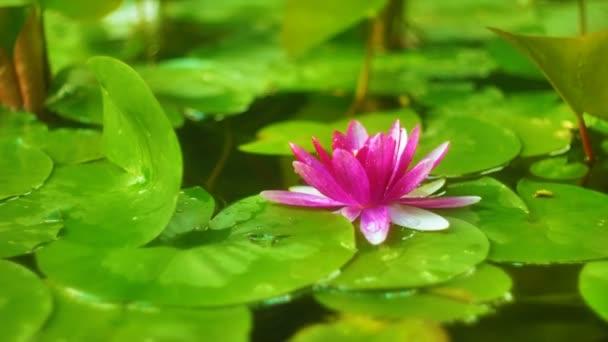 Leknín květ