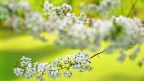 virágzó sakura