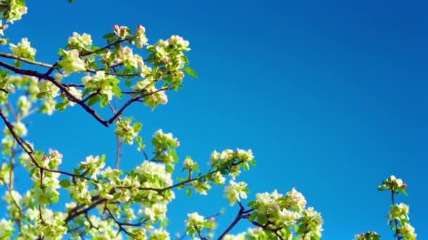 Apple flowers on sky