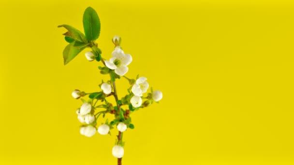 Sakura on yellow 4k