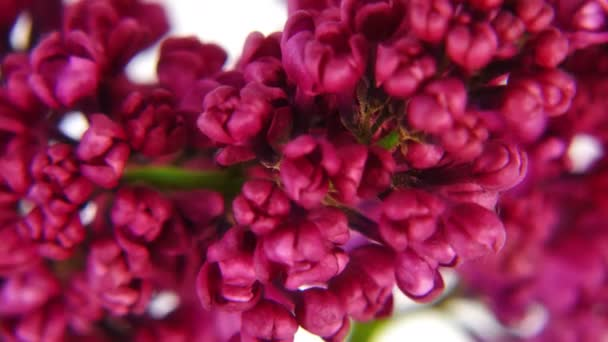 Close-up lilac flowers 4k
