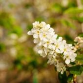 květy Třešňové květy