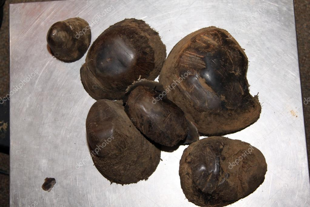 Close-up of horn tips removed after 2 years growth 4 kg.