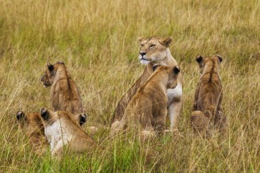 Lioness with cubs. Kenya National Park. Africa.