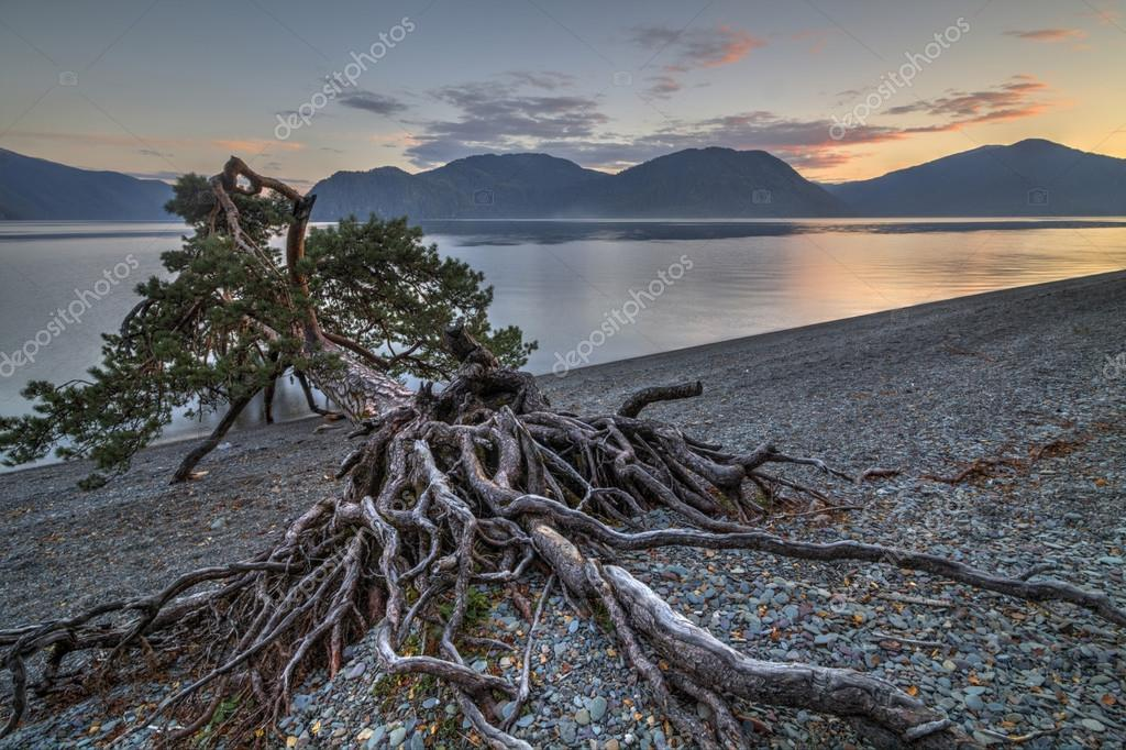 Amazing pine on the shore of a mountain lake