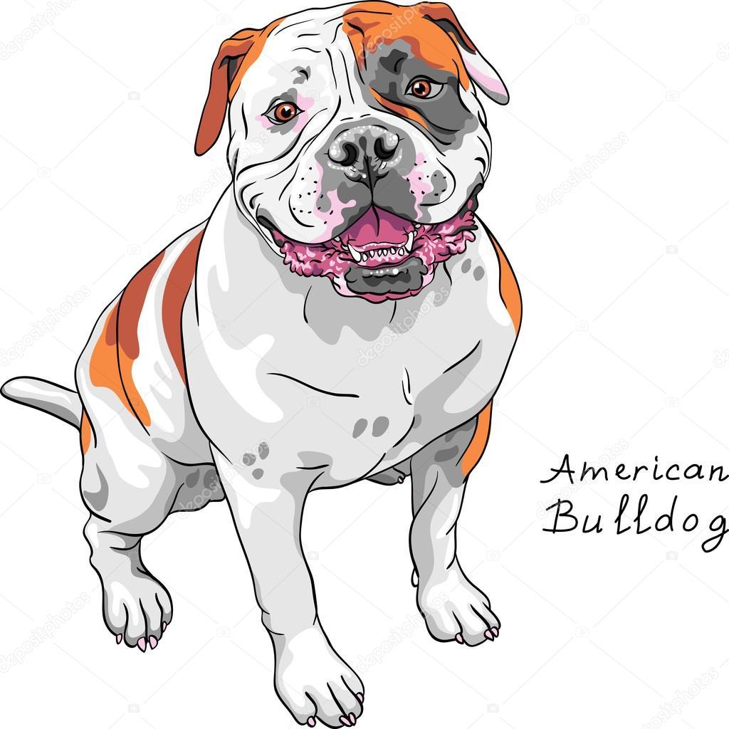 American bulldog stock vectors royalty free american bulldog vector sketch dog american bulldog breed stock vector ccuart Image collections