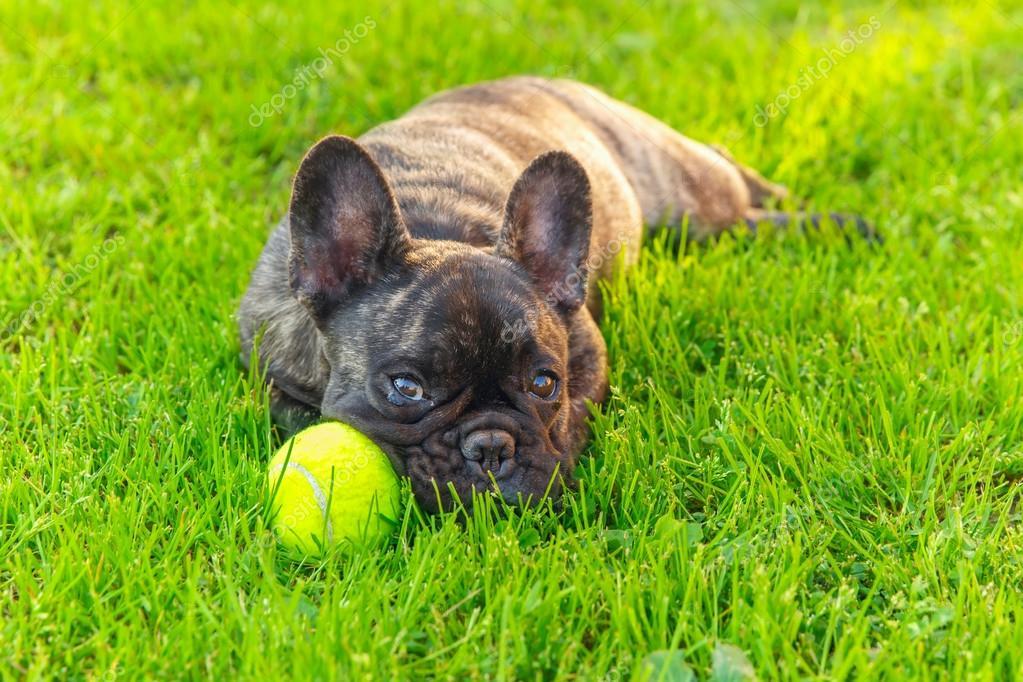 cute domestic dog brindle french bulldog breed ストック写真