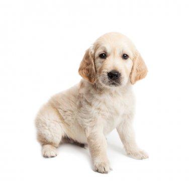 Puppy labrador sitting and posing