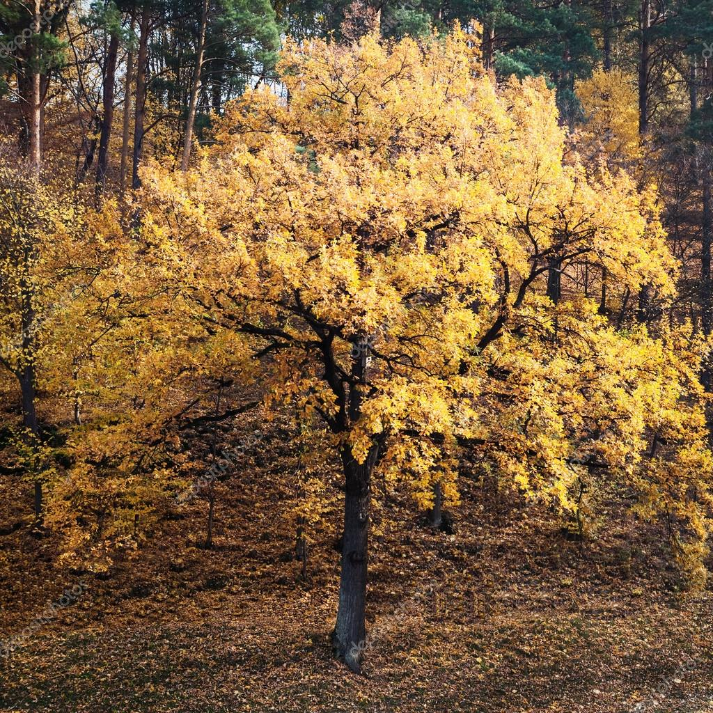 Single tree in autumn forest