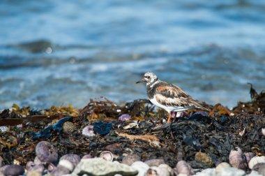 Ruddy Turnstone bird closeup