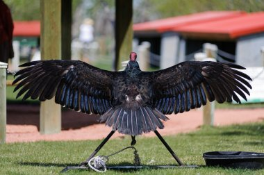 Turkey Vulture back with wing wide open